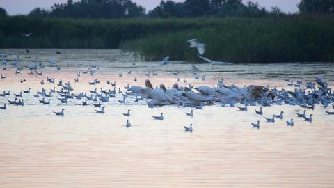 Many birds forage on water at dawn, Acción en vivo