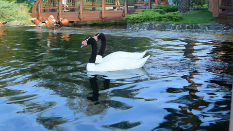 Gracious couple of two black necked swans in pond Live Action
