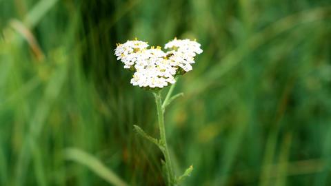 Yarrow with a beetle on it. Achillea millefolium Footage