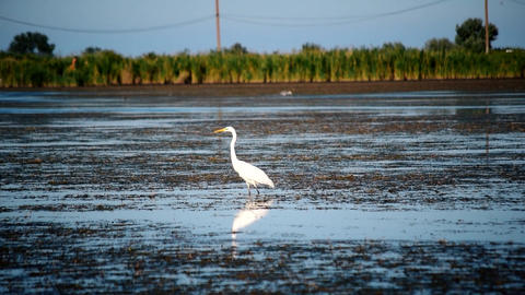 Great egret or white heron, standing in a lake Footage