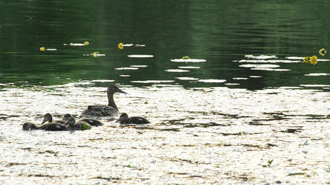 Cute duck with a flock of ducklings swim in pond Footage