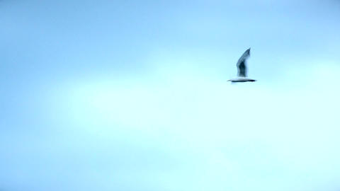 Many seagulls flying in the sky Footage
