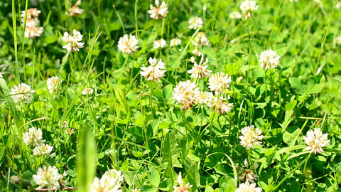 Bee on white clover flower Footage
