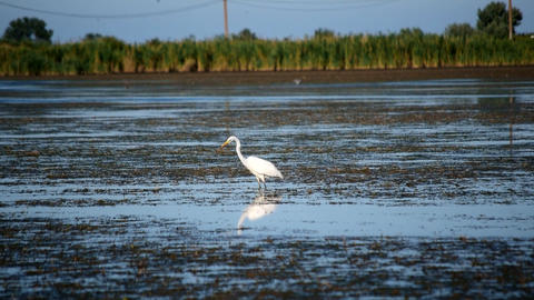 Great egret, a white heron stands in wetlands Footage