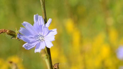 Common chicory flower. Cichorium intybus Footage
