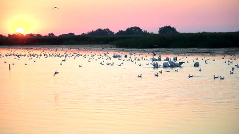 Sunrise with great white pelicans on lake and a seagull diving Footage