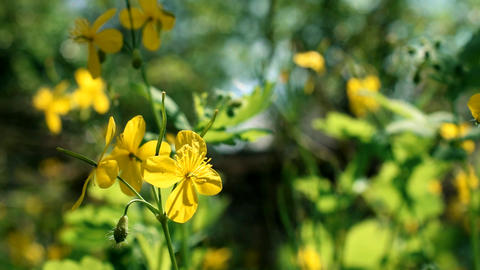 Flower of greater celandine on blurred background Live Action