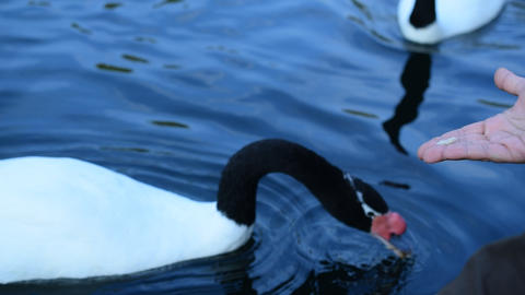 Feeding black necked swans Footage