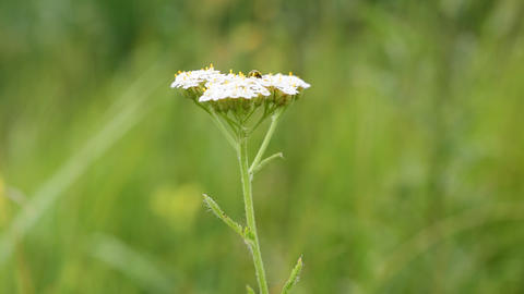 Flower of yarrow, milfoil or common yarrow Footage