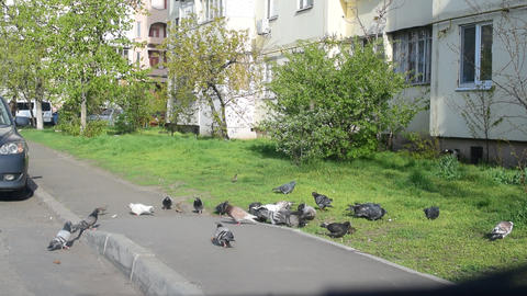 Many pigeons fed in a city Footage