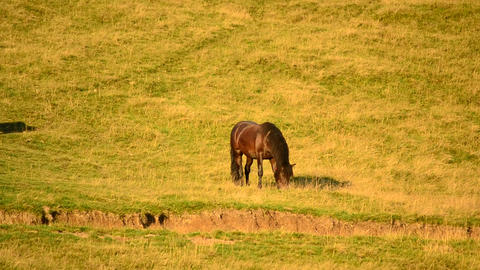 Black horse grazing on pasture with partly dried grass Footage