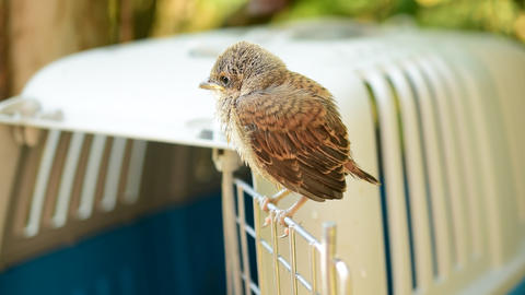 Fledgeling of whitethroat perches on door of cage Footage