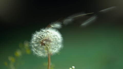 Slowmotion video - Dandelion fluff blown by the wind ライブ動画