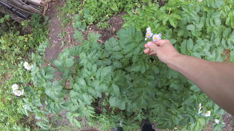 Male hands inspecting green leaves and flowers of potato plants Footage