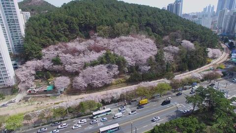 Cherry Brossom Spring Road of Haeundae 05 Footage