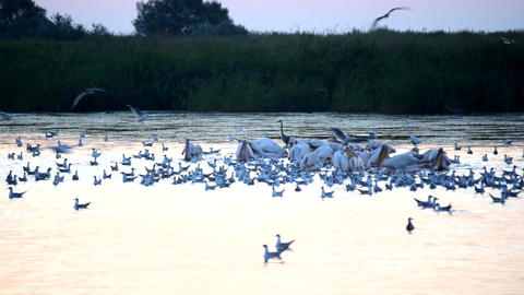 Great white pelicans swim on water looking for food Footage