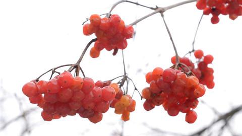Ripe red arrowwood or viburnum berries in winter Footage