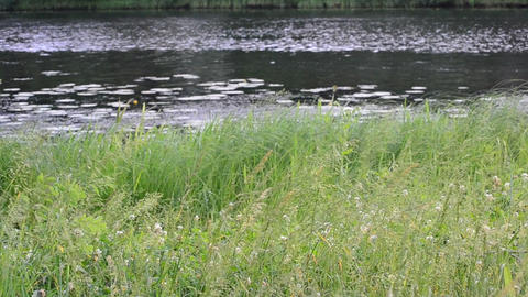 Lush green sedge, reed and grass in front of pond, river or lake Footage