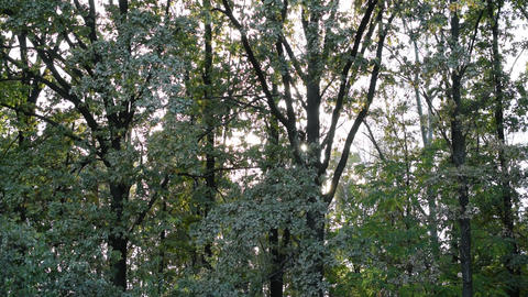 Sun shines through tree foliage in deciduous forest Footage