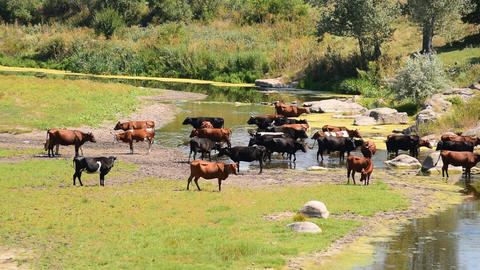Brown, black and white cows on river Footage