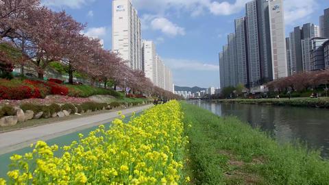 Yuchae Canola Flower