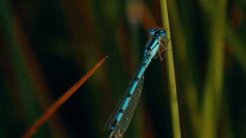Blue damselfly in a grass blade Footage