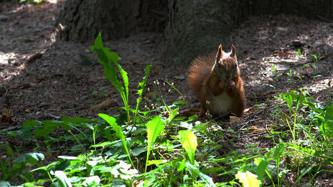 The squirrel eats a nut. 4K Footage
