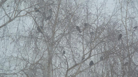 Crows sit on the branches of a birch Footage