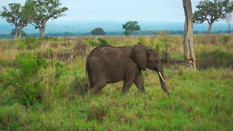 Female elephant comes to the baby cub in the savannah of Tanzania Archivo