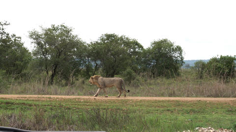 African lion walks the savannah road in front of car with tourists Footage