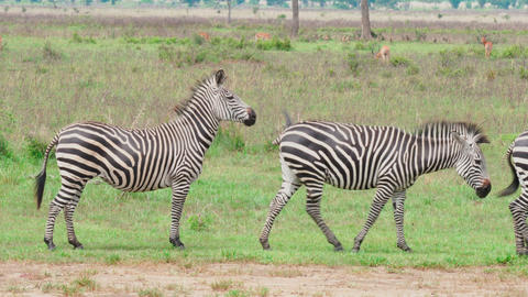 a small group of zebras communicate in the savanna Footage