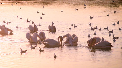 Pelicans fishing and hunting together in water at dawn Footage