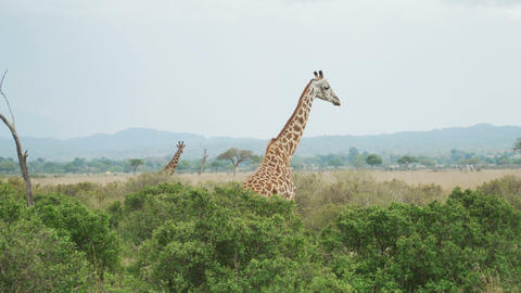 Graceful giraffe moves behind the trees in the savanna Live Action