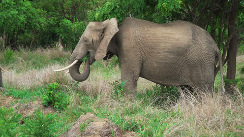 African gray elephant eating green grass in the shade of a tree Footage
