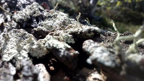 Wood ants. Nest inside trunk of fallen tree Footage