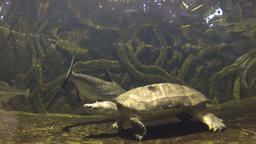 Turtles swimming in fish tank at the aquarium GIF