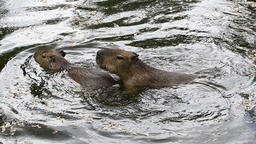 Capybaras playing in the water Footage