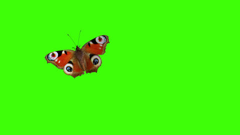 Peacock Butterfly Flying on a Green Background Animation