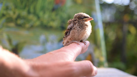 Unfledged bird sitting on human hand outdoors ビデオ