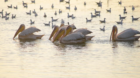 Pelicans and seagulls fishing and hunting together on water Footage