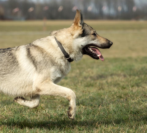 A Czech Wolfhound plays outside in the meadow フォト
