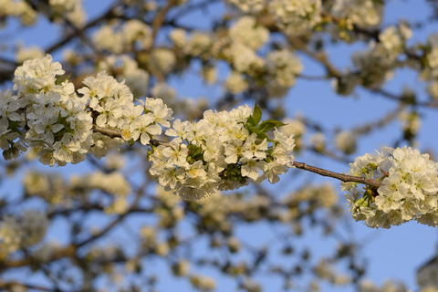 Prunus avium Flowering cherry. Cherry flowers on a tree branch Photo