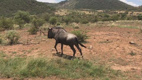 black wildebeest or white-tailed gnu, going in the African savannah (Kenya) Archivo