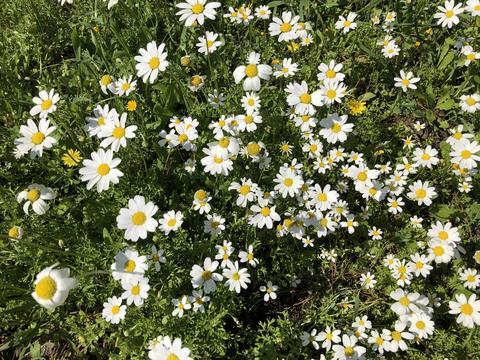 Daisies, flowers Fotografía
