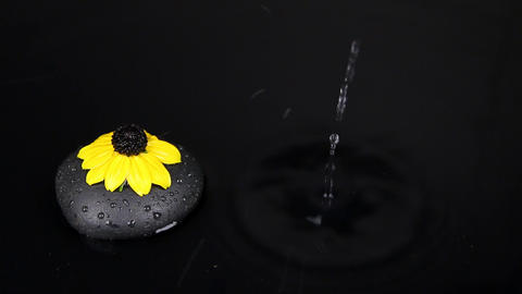 Falling drops into water with black stone and yellow flower, splash and waves Footage