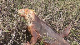 Iguana huge lizards Footage