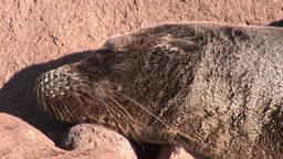 Seal lion relax on beach Galapagos Footage