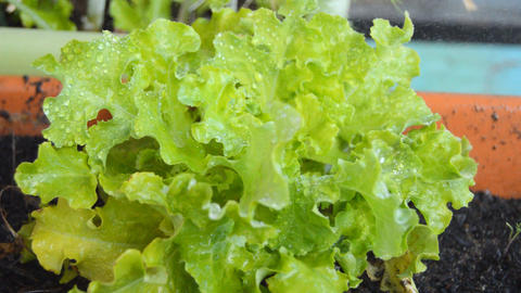 Sraying Water Over Green Planted Lettuce Image