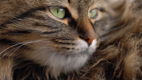 Cute muzzle of a fluffy tabby cat Footage