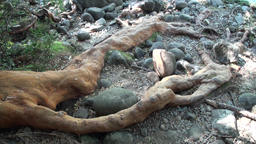 Tree roots intertwined on ground in Patagonia Argentina Footage
